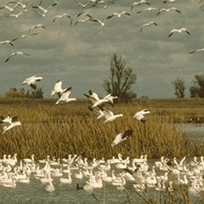 Birds flying into a marsh